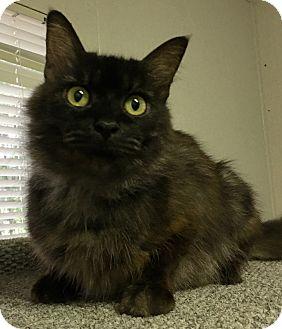 Maine Coon Cat for adoption in Savannah, Georgia - Bobbie