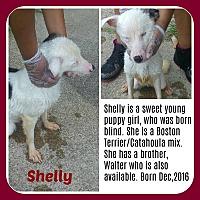 Adopt A Pet :: SHELLY - BLIND - Malvern, AR