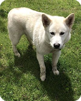 Siberian Husky/Alaskan Malamute Mix Dog for adoption in Tweed, Ontario - Roscoe ADOPTION PENDING