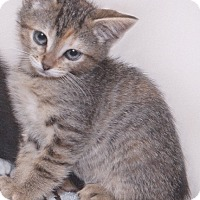 Domestic Mediumhair Kitten for adoption in Thousand Oaks, California - Meh-Meh