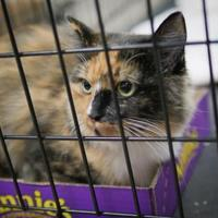 Domestic Longhair/Domestic Shorthair Mix Cat for adoption in Wichita, Kansas - Patches