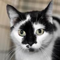 Domestic Mediumhair/Domestic Shorthair Mix Cat for adoption in Tilton, Illinois - Moonlight