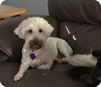 Schnauzer (Miniature)/Poodle (Miniature) Mix Dog for adoption in Dallas, Texas - Skye