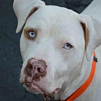 Pit Bull Terrier Dog for adoption in Decatur, Illinois - NIKKO
