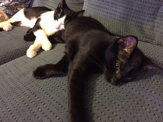 Domestic Shorthair Kitten for adoption in Brea, California - ZOE