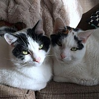 Adopt A Pet :: Offered by Owner BLOOMIE & TOOTS Bonded Pair - HILLSBORO, OR