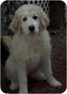 Great Pyrenees Puppy for adoption in Kyle, Texas - Kimberly