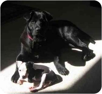 Labrador Retriever/Shar Pei Mix Dog for adoption in Fenton, Missouri - STELLA