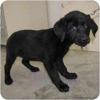 Labrador Retriever Mix Puppy for adoption in Morden, Manitoba - Rover