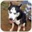 Photo 2 - Husky Mix Dog for adoption in Dahlonega, Georgia - Coon