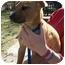 Photo 3 - Dachshund/Boxer Mix Puppy for adoption in Hammonton, New Jersey - Diva