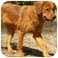 Photo 2 - Golden Retriever Mix Dog for adoption in FOSTER, Rhode Island - Tawney