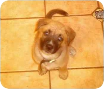 Boxer/German Shepherd Dog Mix Puppy for adoption in Tallahassee, Florida - Harry