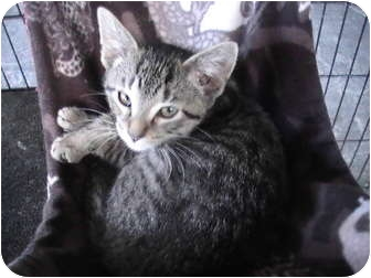 Domestic Shorthair Kitten for adoption in Columbiaville, Michigan - Rafter