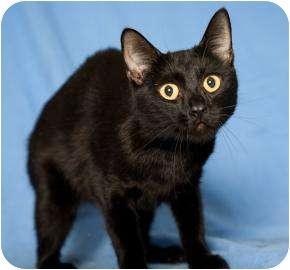 Domestic Shorthair Cat for adoption in Dayton, Ohio - Gemini