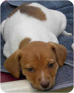 Jack Russell Terrier/Spaniel (Unknown Type) Mix Puppy for adoption in Phoenix, Arizona - BELLE