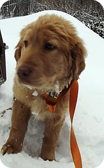 Golden Retriever/Labrador Retriever Mix Puppy for adoption in Morgantown, West Virginia - Chewy