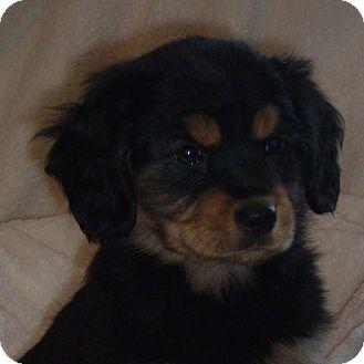Golden Retriever/Shepherd (Unknown Type) Mix Puppy for adoption in Columbia, Illinois - Emily