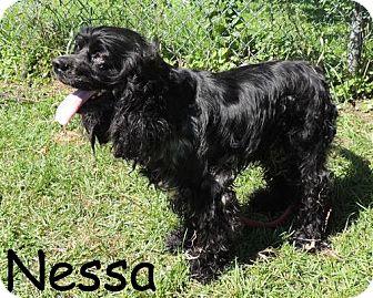 Cocker Spaniel Mix Dog for adoption in New Jersey, New Jersey - NJ Bordentown - Nessa