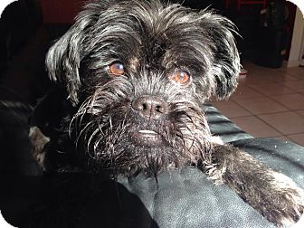 Affenpinscher Dog for adoption in Los Angeles, California - GIBSON - ADOPTION PENDING