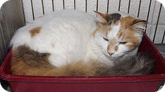 Calico Cat for adoption in Henderson, North Carolina - Colette