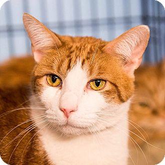 Domestic Shorthair Cat for adoption in Brooklyn, New York - Fluffy