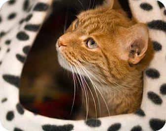 Domestic Shorthair Cat for adoption in Lowell, Massachusetts - Klondike