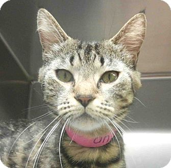 Domestic Shorthair Cat for adoption in Tinton Falls, New Jersey - Momma Kelly
