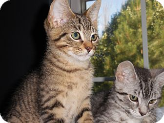Domestic Shorthair Kitten for adoption in Lombard, Illinois - Sousa