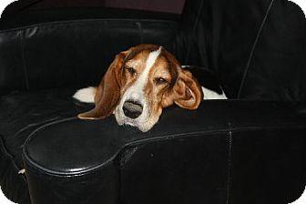 Basset Hound Dog for adoption in Grapevine, Texas - Chloe