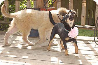 Miniature Pinscher Mix Puppy for adoption in Moosup, Connecticut - JOSIE