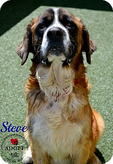 St. Bernard Mix Dog for adoption in Youngwood, Pennsylvania - Steve