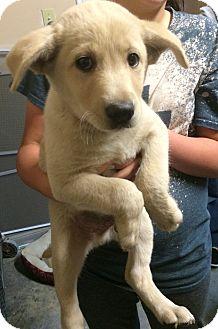 Labrador Retriever/Shepherd (Unknown Type) Mix Puppy for adoption in Loogootee, Indiana - Blaize