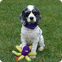Adopt A Pet :: Bentley - Mocksville, NC