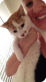 Domestic Shorthair Cat for adoption in McDonough, Georgia - Duck Duck