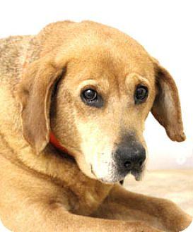 Beagle/Hound (Unknown Type) Mix Dog for adoption in Hardinsburg, Kentucky - BONNIE