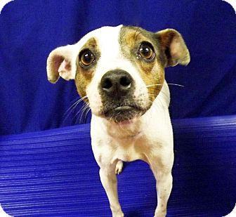 Terrier (Unknown Type, Small) Mix Dog for adoption in LAFAYETTE, Louisiana - APPLE BEE