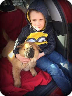 Chow Chow Puppy for adoption in Cleveland, Oklahoma - Hannah