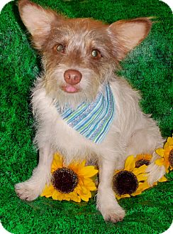 Terrier (Unknown Type, Small)/Cairn Terrier Mix Puppy for adoption in Irvine, California - Hero