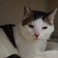 Domestic Shorthair Cat for adoption in Denver, Colorado - Turbo