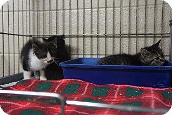 Domestic Shorthair Kitten for adoption in Henderson, North Carolina - Frank, Sally & Sarah
