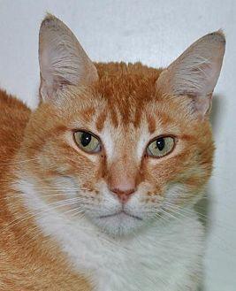 Domestic Shorthair Cat for adoption in Roseville, California - Remington