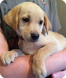 Labrador Retriever/Golden Retriever Mix Puppy for adoption in SOUTHINGTON, Connecticut - Macy