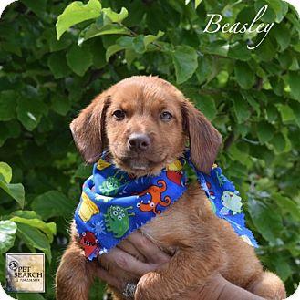 Labrador Retriever Mix Puppy for adoption in Washington, Pennsylvania - Beasley