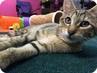 Domestic Shorthair Kitten for adoption in McHenry, Illinois - Schona