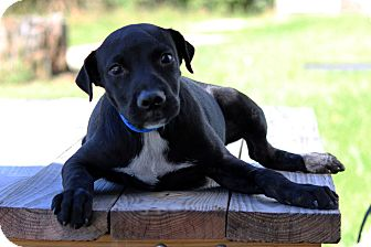 Labrador Retriever Mix Puppy for adoption in Waldorf, Maryland - Todd