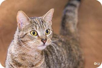 Domestic Shorthair Cat for adoption in Chesapeake, Virginia - Fendi