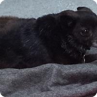 Adopt A Pet :: Blakey - Westminster, CA
