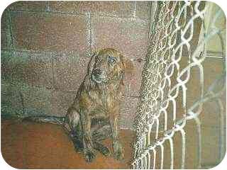 Plott Hound/Retriever (Unknown Type) Mix Puppy for adoption in Baltimore, Maryland - Graham
