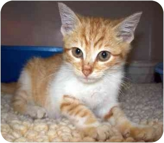 Domestic Shorthair Kitten for adoption in Howes Cave, New York - August